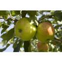 Nordiska museets Äppeldagar hyllar det svenska äpplet