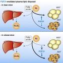 Bättre förståelse om lovande blodfettsänkande signalprotein