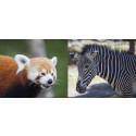 Pant på Kolmården går till bevarandeprojekt för hotade djur