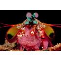 Mantisräka med äggsamling. Foto Fredrik Ehrenström