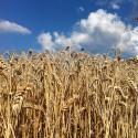 Moden hvede