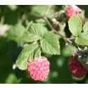 Tryggt med bär från svensk förstklassig odling