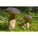 Lär dig undvika giftiga svampar - besök Botaniskas svamputställning