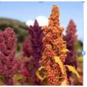 Quinoastärkelse i kosmetika lockar investering