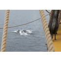 Delfin siktad från briggen Tre Kronor af Stockholm utanför Västervik