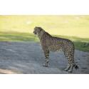 Borås Djurpark skickar geparder till Kristiansand Dyrepark, Norge