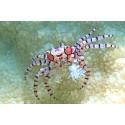 Boxer-krabba. Foto Kent Forsén
