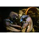 Inför hummerpremiären är det hummerhelg på Havets Hus