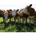 Dansk kødkvæg hitter hos MENY
