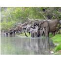 Elefanter som dricker vatten