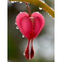 Antalet hjärtinfarkter minskar snabbt