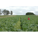 Flower strips most effective in moderately complex agricultural landscapes