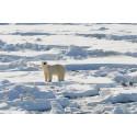 Isbjörn på Svalbard
