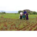 Helsedarling skal spille hovedrolle i kampen mod sult