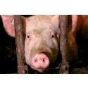 20 000 personer skriver under upprop mot kontrollprogram för grisar