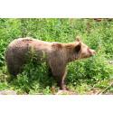 Fler björnar i Västerbotten