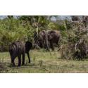 Elefanter dödas för sina elfenbetar