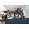 Tuojiangosaurus - Göteborgs Naturhistoriska Museum- Foto Ian Schemper