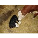 Nyfödda kalvar i ladugården