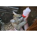 Frivilligt arbejde med dyr i Sydafrika