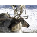 Naturvårdsverket äventyrar arbetet med toleransnivåer för rennäringen