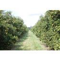 15 DAGAR Nu har nedräkningen börjat: Bara veckor kvar till att Florida grapefrukt återigen finns i Sverige