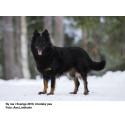 Chodský pes - ny ras i Sverige 2010