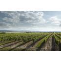 Weingut Leth vineyard