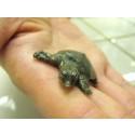 SEA LIFEn 11-vuotissynttäreillä juhlitaan kilpparivauvan ristiäisiä: Saammeko esitellä - kiinanpehmeäkonnan poikanen on nimeltään HIPPU