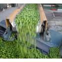 Mosade oliver blir värme och el