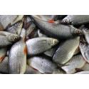 Järvikalapihvissä on särkeä – ja paljon järkeä
