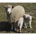 Besøg Frilandsmuseets nyfødte lam i påsken