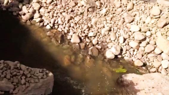 Öring dyker upp under bygget i Muskån och visar att nya fiskvägen fungerar!